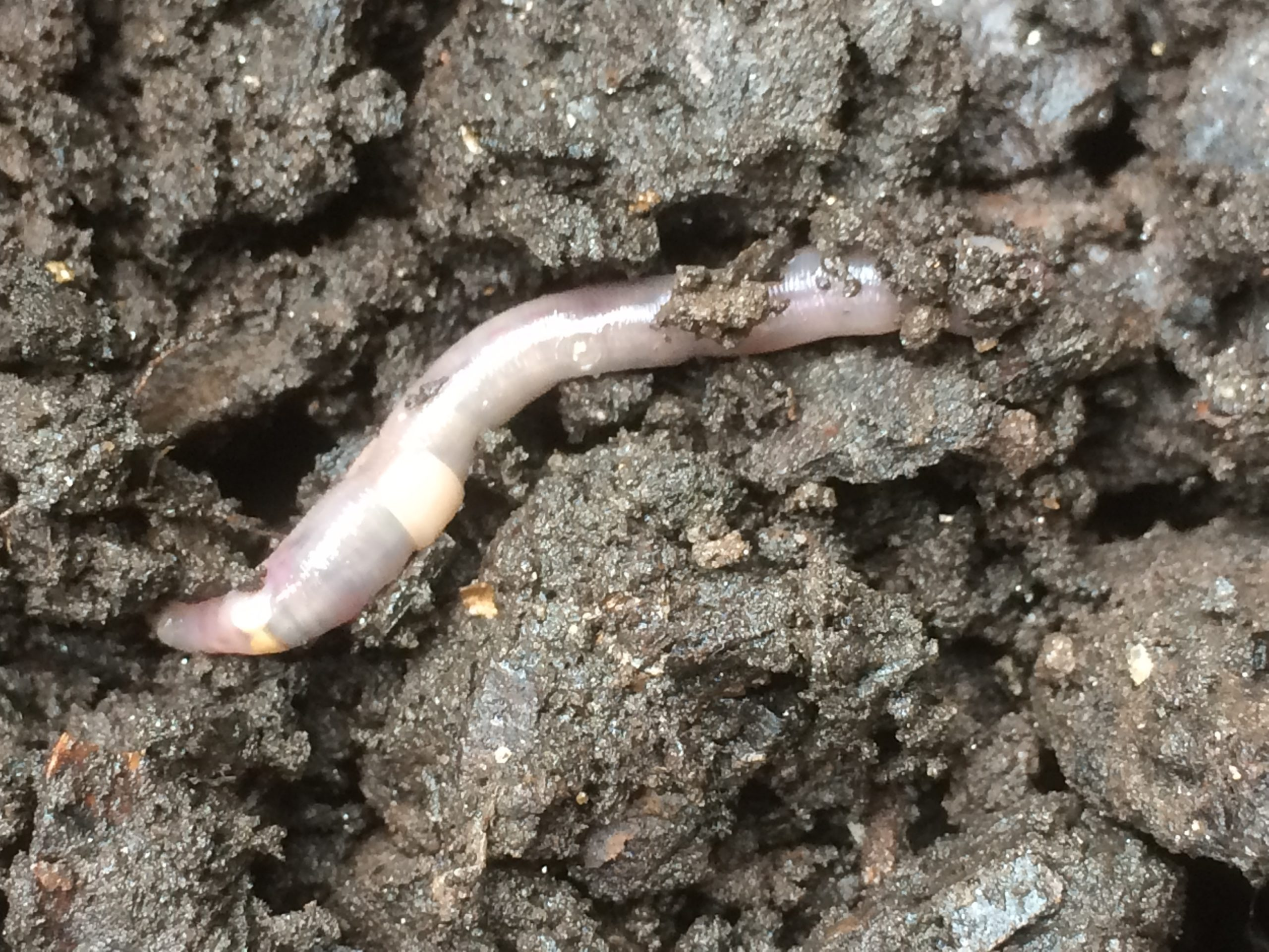 Earth (Day) Worms